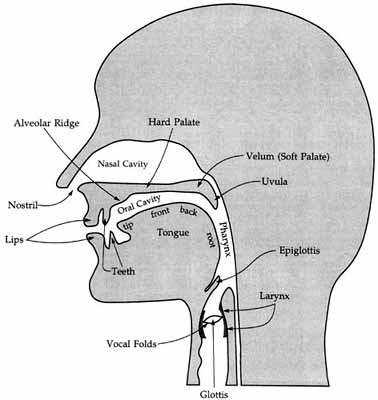 efl tutoring english as a foreign language : vocal tract diagram - findchart.co